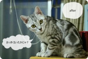 すっかり成猫!中身も色々と変わりました。現在のミイと子猫の頃のミイの違い。